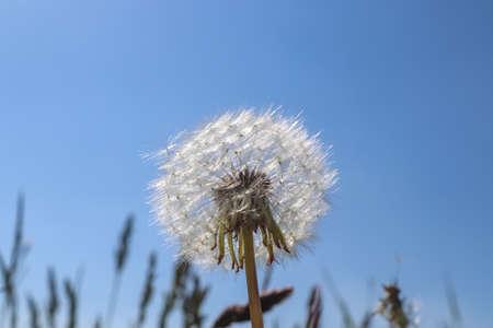 Close up view at a blowball flower against a clear blue sky Standard-Bild