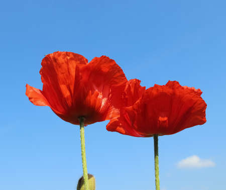 Two red poppy flowers against a clear bluie sky