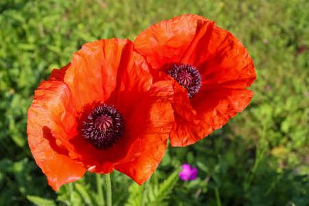 Beautiful red poppy flowers in the sun found in a green garden