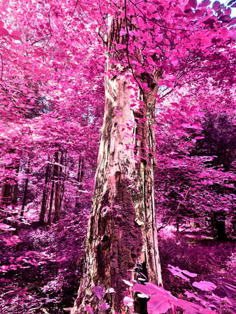 Beautiful pink and purple infrared panorama of a countryside landscape with a blue sky.