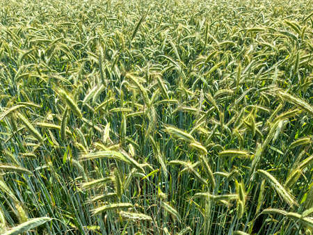 Summer view on agricultural crop and wheat fields ready for harvesting. Standard-Bild