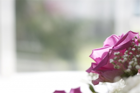 Beautiful lonely pink rose in front of the window Stock Photo - 13637490