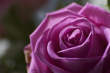 Beautiful closeup macro pink rose