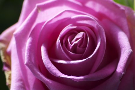 Beautiful closeup of macro pink rose