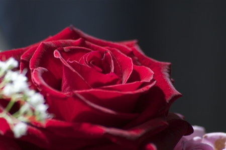 Beautiful closeup of macro red rose Stock Photo - 13637503