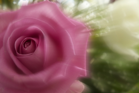 Beautiful pink rose moving fast Stock Photo - 13718488