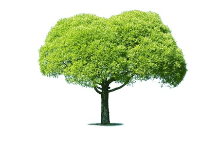Green tree isolated on white Stock Photo - 14155442
