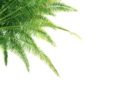 Green palm tree leaves isolated on white backgorund Stock Photo - 14780814