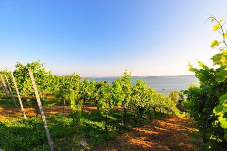 friedrichshafen: Grapevines at Lake Constance in the Friedrichshafen area