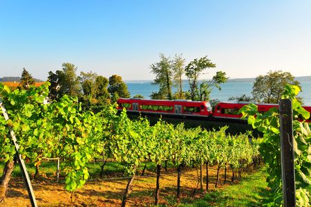 vinery: A shot of a typical grapevine in the Lake constance area, Baden-Wuerttemberg, Germany