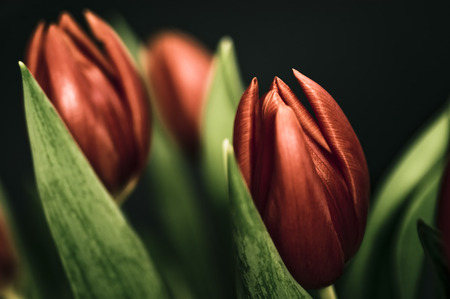 Red tulips Stock Photo - 1423255