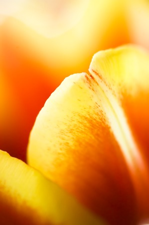 Tulip flower detail photo