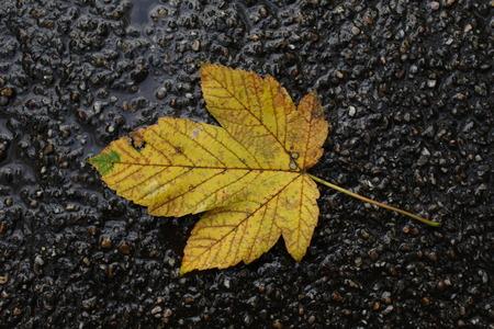 Autumn leaf from a sycamore maple tree on asphalt