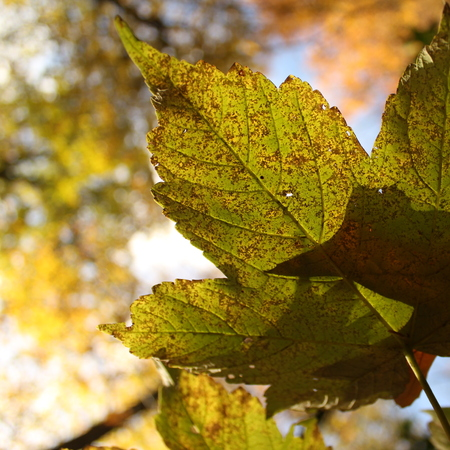 Sycamore maple leaf with leaf through the leaf