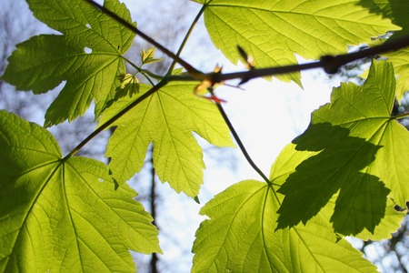 Sycamore maple leaves with the sun shining through