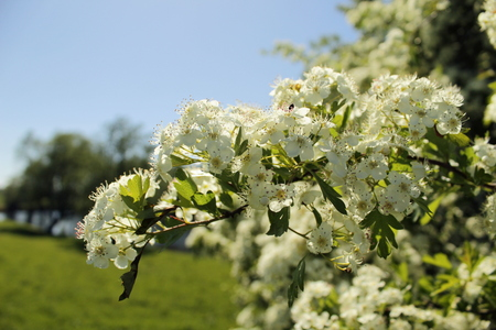 Hawthorn (Crataegus) with blossom in May, Dutch river landscape behind Stock Photo