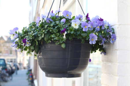 In a Dutch street with well maintained 19th century houses the residents at viola plants in baskets in order to make the street look better 写真素材