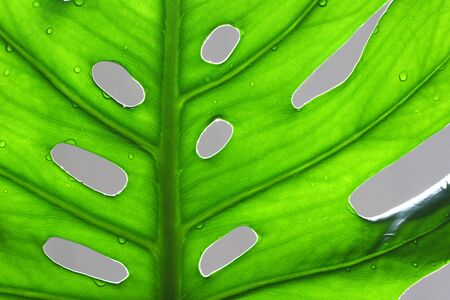 Leaf from the Swiss cheese plant with the characteristic gaps, in contrast with sunlight. Monstera deliciosa.