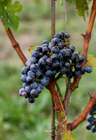 Um cacho de uvas, pronto para ser colhido em uma vin