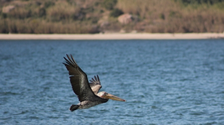 A brown pelican in flight over the Pacific Ocean near Mazatlan, Mexico Stock Photo