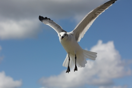 An inquisitive seagull in flight