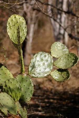 Closeup of a nopales cactus in Mexico