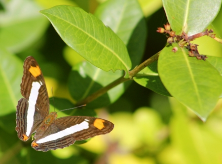A brown butterfly  Adelpha Basiloides  commonly known as Spot-celled Sister rests on a glossy leaf in Mexico Stock Photo