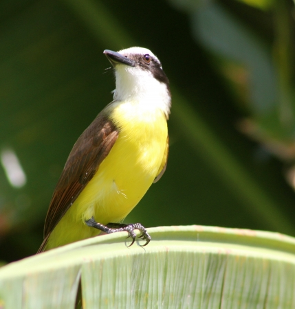 A kiskadee colorido e normalmente barulhento empoleirado em uma palmeira no M