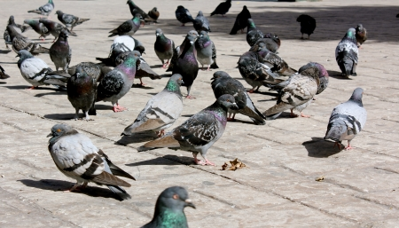A flock of pigeons standing in a public square in the city, hoping to be fed  photo