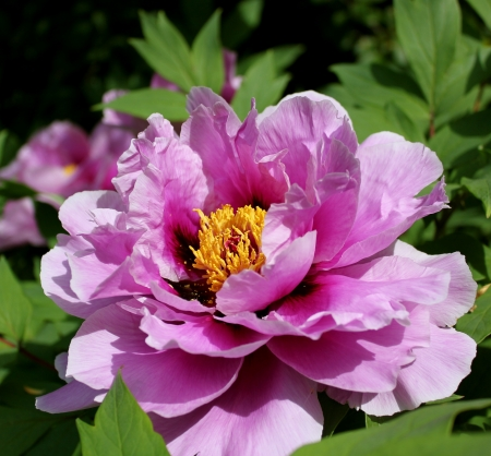 A closeup of a fully open pink peony, showcasing its delicate yellow centre