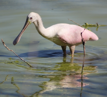 A roseate spoonbill  Platalea Ajaja  wading in a pond Stock Photo