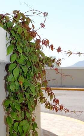 Green and red vines trailing over a concrete wall