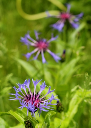 Wild Bachelor Button  Centaurea Montana  after a spring shower, with rain drops still clinging to its delicate petals