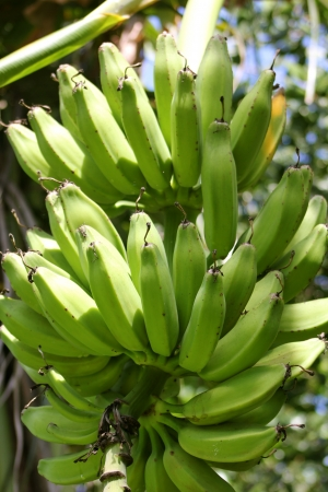 Closeup of a bunch of green bananas on a tree