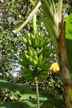 Green bananas on a tree