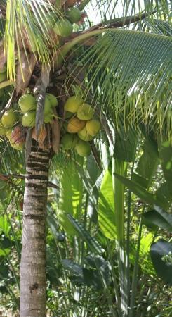 Cocos em uma palmeira de coco Imagens