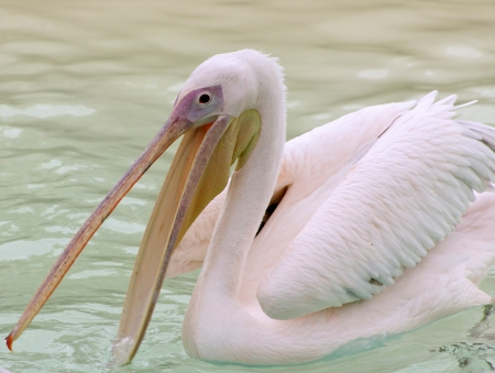A great white pelican  pelecanus onocratalus  swimming at the Toronto Zoo