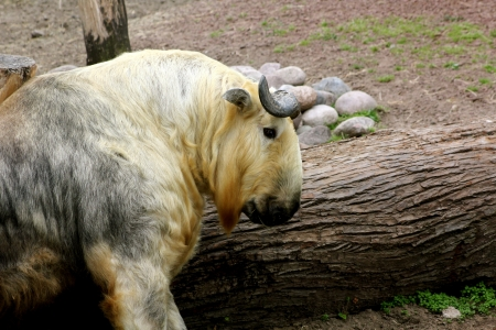 A large goat antelope, commonly known as Sichuan Takin  Budorcas Taxicolor Tibetana , at the Lincoln Park Zoo, Chicago, Illinois, USA Stock Photo