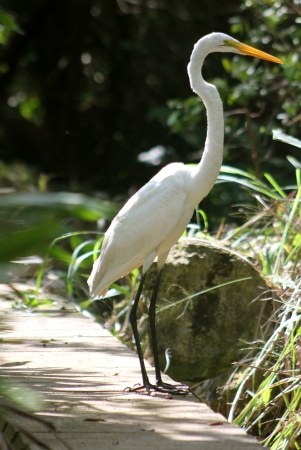 A Great Egret  Ardea Alba  standing alone near wetlands in the Mayan Riviera, Mexico