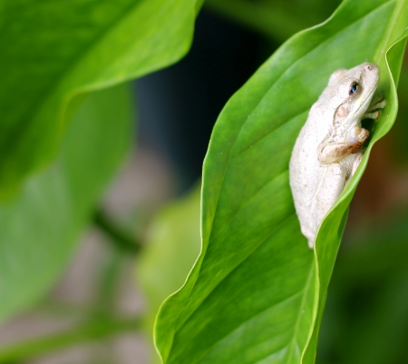 Um cubano Tree Frog Osteopilus septentrionalis em uma grande folha em uma