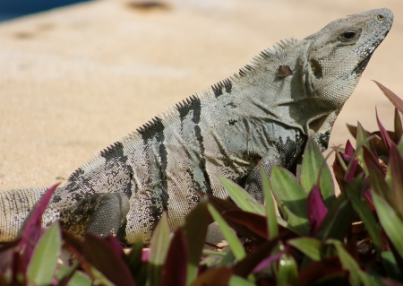 A Spinytail Iguana  Ctenosaura Similis  basking in the sun in the Mayan Riviera, Mexico