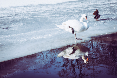 A Cygnus And Two Ducks Mallard On The Ice On Frozen Pond