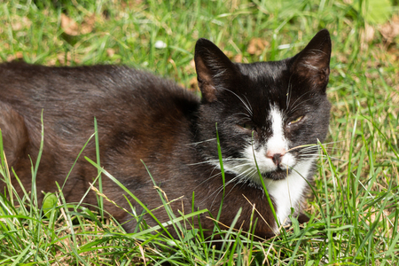 Relaxed black and white cat lying in green grass eyes squinted Reklamní fotografie