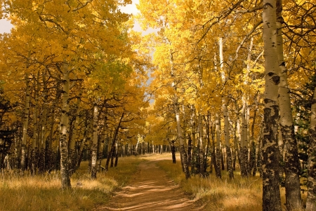 hiking trail through Aspen forest during the Fall at Mueller State Park Colorado with colorful yellow foliage