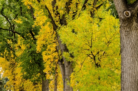 Mighty oak trres with spectacular yellow and green leaves during fall in Colorado SPrings, Colorado  版權商用圖片