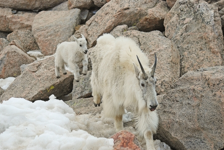 mount evans: Playful mountian goat baby chases his mother in Mount Evans Wilderness area at 14,000 feet  Stock Photo