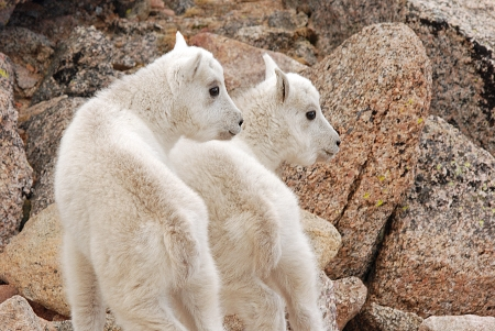 Adorable twin mountian goat twins pose in the Mount Evans Wilderness Area photo