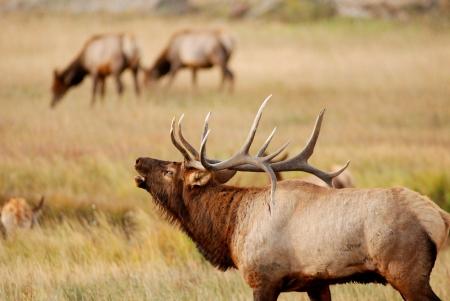 フルラック ロッキー山国立公園のわだち掘れ間に牛にインターと雄大な牛のヘラジカ