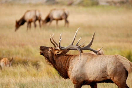 Majestic bull elk with full rack bugling to cows during rut at Rocky Mountain National Park