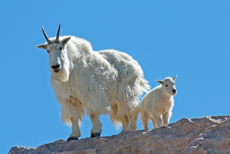 mount evans: Mountian goat mother and baby pose against a blue sky in the Mount Evans Wilderness Area, Colorado